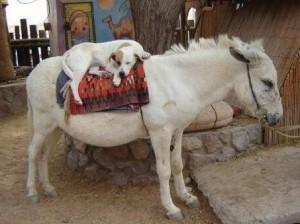 dog-on-donkey